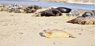 Rookery σφραγίδων του Norfolk που βρίσκεται στην παραλία και τους περίβολους τα eys του από τον ήλιο στοκ φωτογραφίες