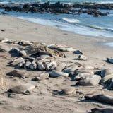 Rookery морсых львев на шоссе Тихоокеанского побережья в Калифорнии США Стоковые Изображения