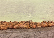 Rookery Atlantic walruses Stock Photos