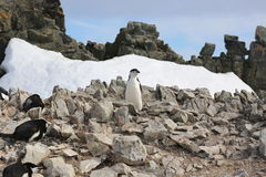Rookery Chinstrap penguin στην Ανταρκτική Στοκ εικόνα με δικαίωμα ελεύθερης χρήσης