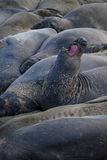 Rookery of  elephant sea lions Royalty Free Stock Photo