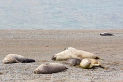 Rookery of elephant seals Stock Photo