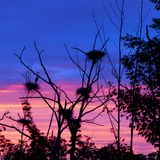 Rookery Heron Nests Set Against Early Morning Sky Stock Images