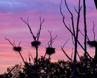 Rookery Heron Nests Set Against Early Morning Sky. Rookery with multiple nests set against the early morning sky with Heron standing in it's nests Stock Photo