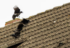 Rookery. On the house roof Stock Images