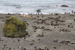 Rookery of northern fur seals and sea lions in the Bering Royalty Free Stock Photography