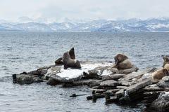 Rookery Northern Sea Lion or Steller Sea Lion. Avachinskaya Bay, Petropavlovsk-Kamchatsky Royalty Free Stock Images