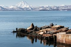 Rookery Northern Sea Lion or Steller Sea Lion on Pacific Coast Stock Photography