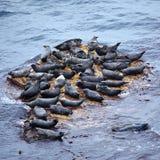 rookery popielata foka Obrazy Stock