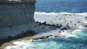 Rookery of sea lions on the Valdes Peninsula, Patagonia, Argentina, South America stock video