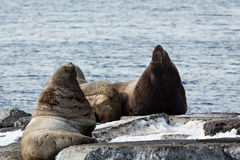 Rookery Steller Sea Lion or Northern Sea Lion. Avacha Bay, Kamchatka Stock Photo