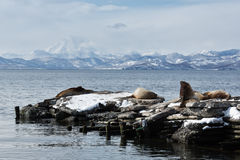 Rookery Steller Sea Lion or Northern Sea Lion. Avacha Bay Stock Photo