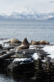 Rookery Steller Sea Lion or Northern Sea Lion. Kamchatka, Avacha Bay Stock Images