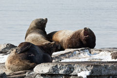Rookery Steller Sea Lion or Northern Sea Lion. Kamchatka, Avacha Bay Stock Image