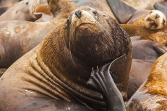 Rookery Steller sea lions. Stock Images