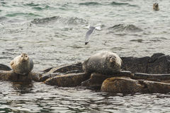 Rookery Steller sea lions. Stock Photo