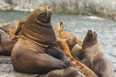 Rookery Steller sea lions. Stock Image