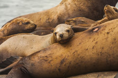 Rookery Steller sea lions. Royalty Free Stock Image