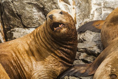 Rookery Steller sea lions. Royalty Free Stock Photography