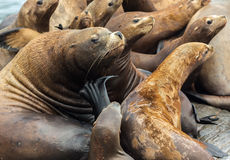 Rookery Steller sea lions. Island in Pacific Ocean near Kamchatka Peninsula. Royalty Free Stock Photo
