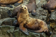 Rookery Steller sea lions. Island in Pacific Ocean near Kamchatka Peninsula. Stock Images