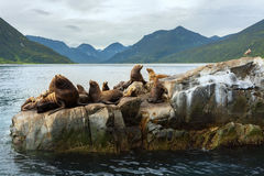 Rookery Steller sea lions. Island in Pacific Ocean near Kamchatka Peninsula. Royalty Free Stock Photography