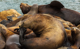 Rookery Steller sea lions. Island in Pacific Ocean near Kamchatka Peninsula. Stock Photography