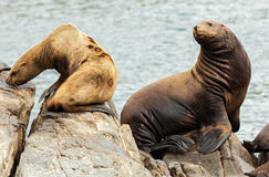 Rookery Steller sea lions. Island in Pacific Ocean near Kamchatka Peninsula. Royalty Free Stock Image