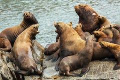 Rookery Steller sea lions. Island in Pacific Ocean near Kamchatka Peninsula. Stock Photography