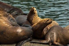Rookery Steller sea lions. Island in Pacific Ocean near Kamchatka Peninsula. Royalty Free Stock Photos