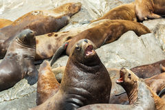 Rookery Steller sea lions. Island in Pacific Ocean near Kamchatka Peninsula. Royalty Free Stock Image