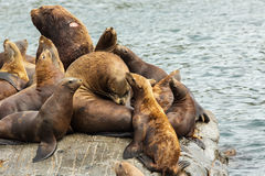 Rookery Steller sea lions. Island in Pacific Ocean near Kamchatka Peninsula. Royalty Free Stock Photos