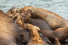 Rookery Steller sea lions. Island in Pacific Ocean near Kamchatka Peninsula. Stock Photos