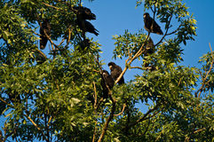 Rooks (Corvus Frugilegus) Stock Photo