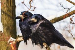 Rooks couple sitting on a branch on a sunny winter day. Winter, wildlife, birds Royalty Free Stock Photos
