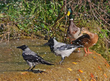 Rooks and ducks couples. Near the fountain Royalty Free Stock Image