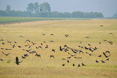 Rooks on field Stock Images