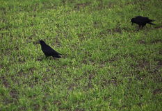 Rooks On Field Royalty Free Stock Photo
