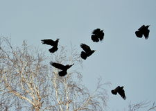 Rooks have ed. To remove nestling by springtime on white birches Royalty Free Stock Photography