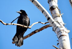 Rooks have ed Stock Photo