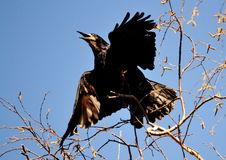 Rooks have ed. To remove nestling by springtime on white birches Royalty Free Stock Images