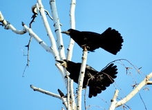 Rooks have ed Royalty Free Stock Photo