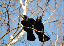 Rooks have ed. To remove nestling by springtime on white birches Stock Image