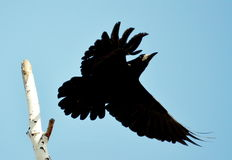 Rooks have ed. To remove nestling by springtime on white birches Stock Photos