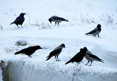 Rooks have ed Stock Photography