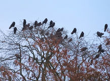Rooks And Jackdaws On Bare Tree Royalty Free Stock Photos