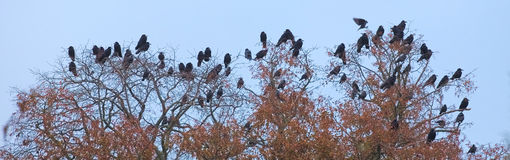 Rooks And Jackdaws On Bare Tree Stock Photos