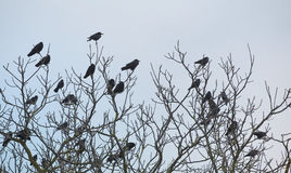 Rooks And Jackdaws On Bare Tree Royalty Free Stock Images