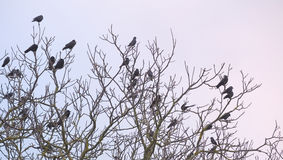 Rooks And Jackdaws On Bare Tree Royalty Free Stock Photography