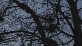 Rooks nesting high up in trees, singing and flying - Rook nest - Spring is here. Sunny weather stock video footage